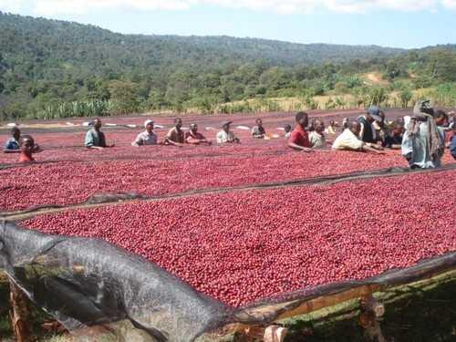 Эфиопия прооизводство кофе