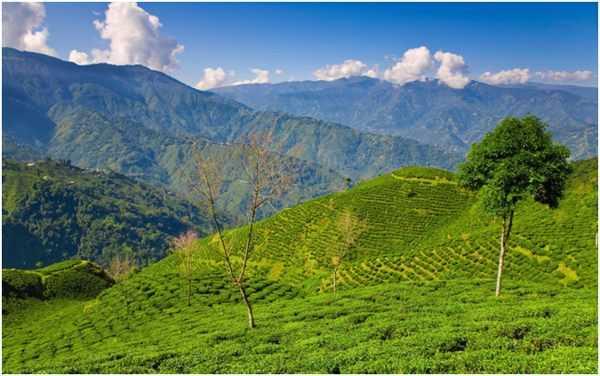 чайные плантации в Гималаях