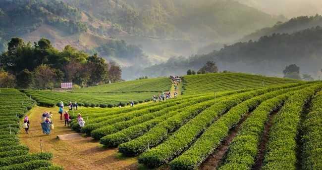 чайные плантации в тайланде