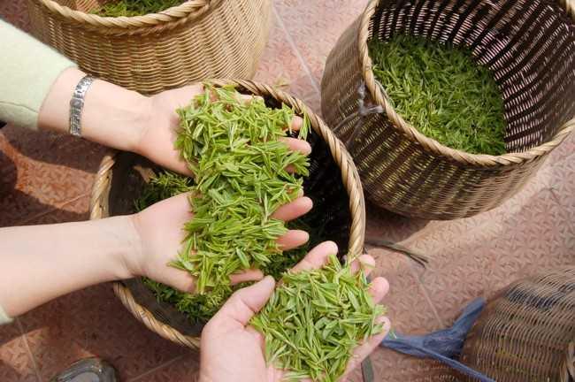 листья лунцзина в руках