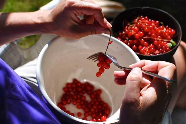 перебираем ягоды смородины
