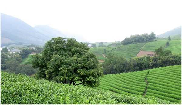 плантация чая в китае