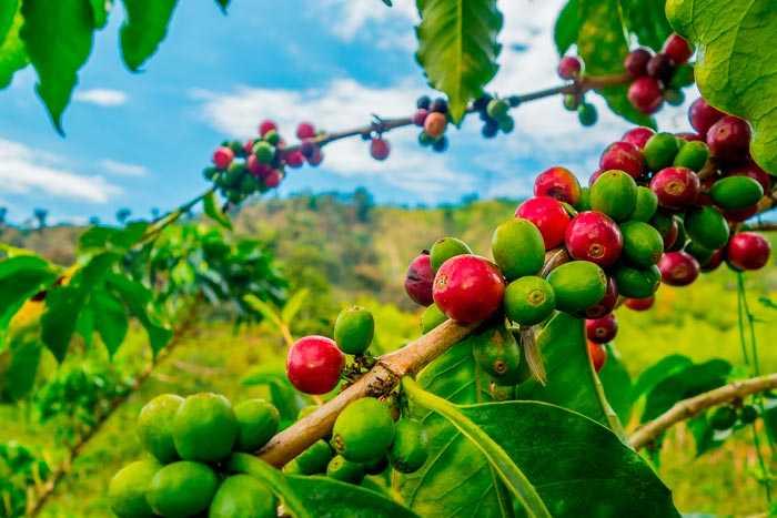 кофейное дерево робуста